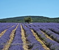 More lavender fields.....!