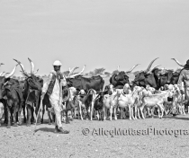 Abdoulaye with his herd; on the way to the Cure Salée