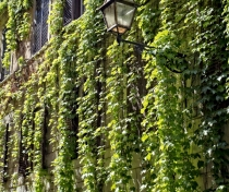Via Margutta with spectacular vines
