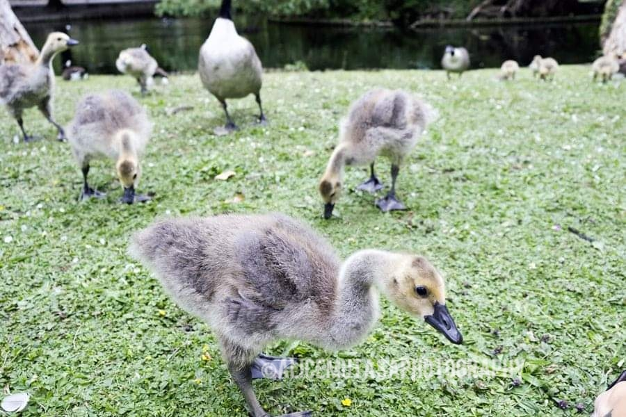 Baby geese at Tottenham Cemetary