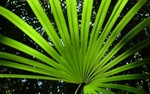 Palm_Belize_170x94