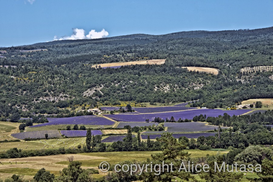 Lavender everywhere....