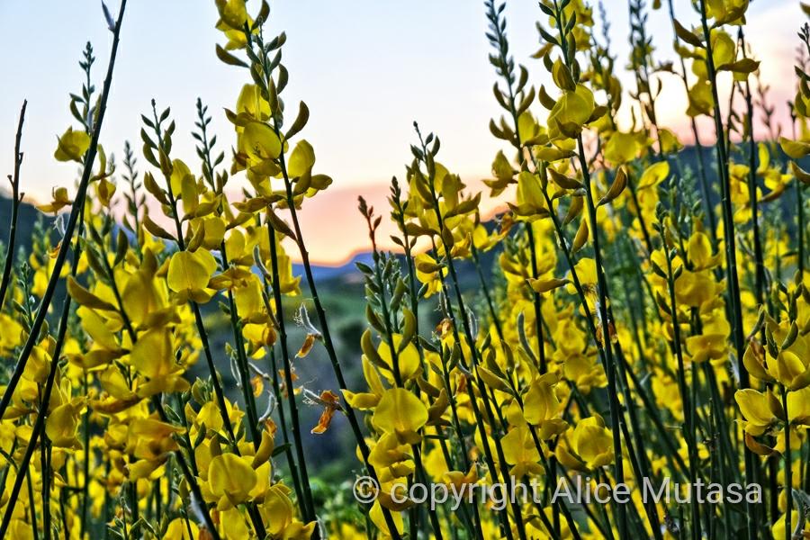 Sunset through Broom flowers....