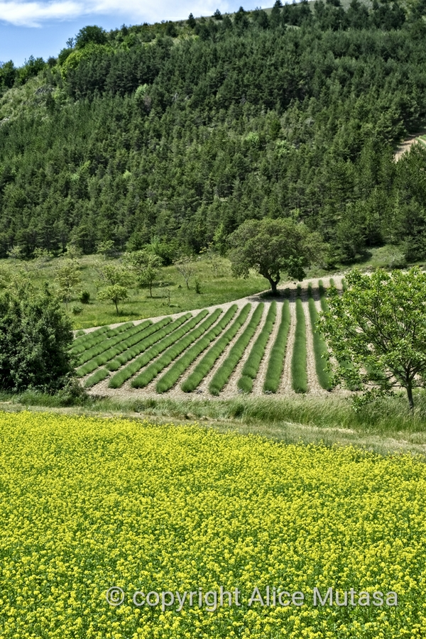 Bright yellow mustard fields with almost-ready lavender in the background...