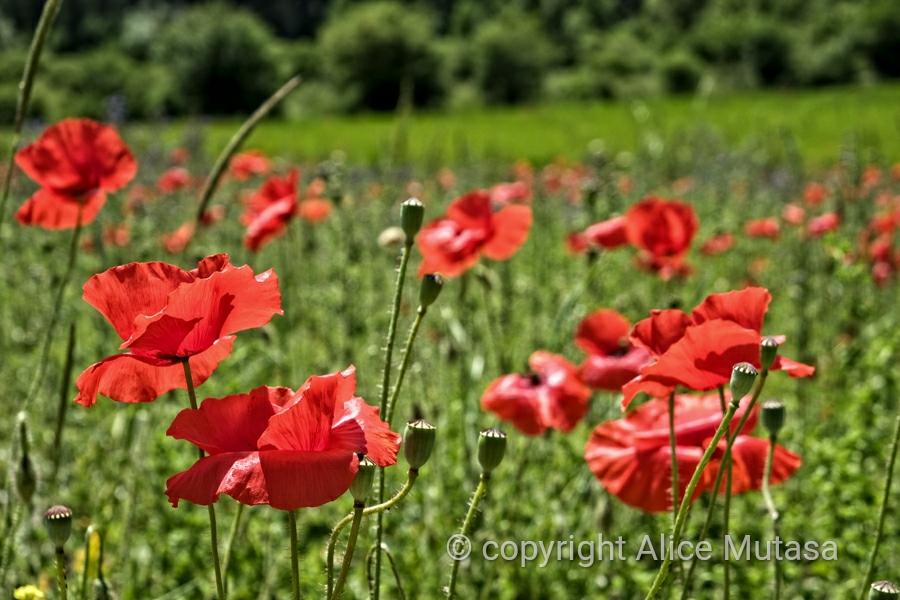 Poppies....