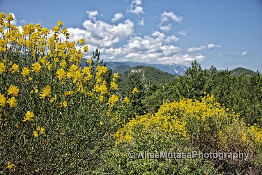Clouds of sweet-smelling broom (Genêt) everywhere.....