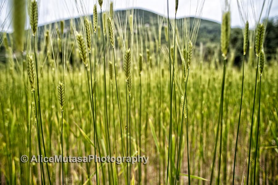 "Ancient type of wheat - ""épeautre"""