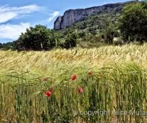 'Petit épautre' - local wheat crop