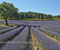 Lavender fields.....
