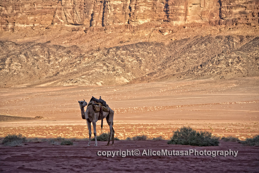 Another camel....