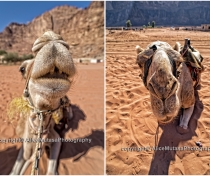 Camels - Wadi Rum