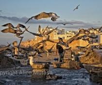 Seagull feeding frenzy at the port