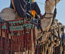 The 'Most Beautiful Camel' contest