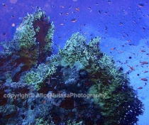 St Johns Reefs Red Sea 2015_005