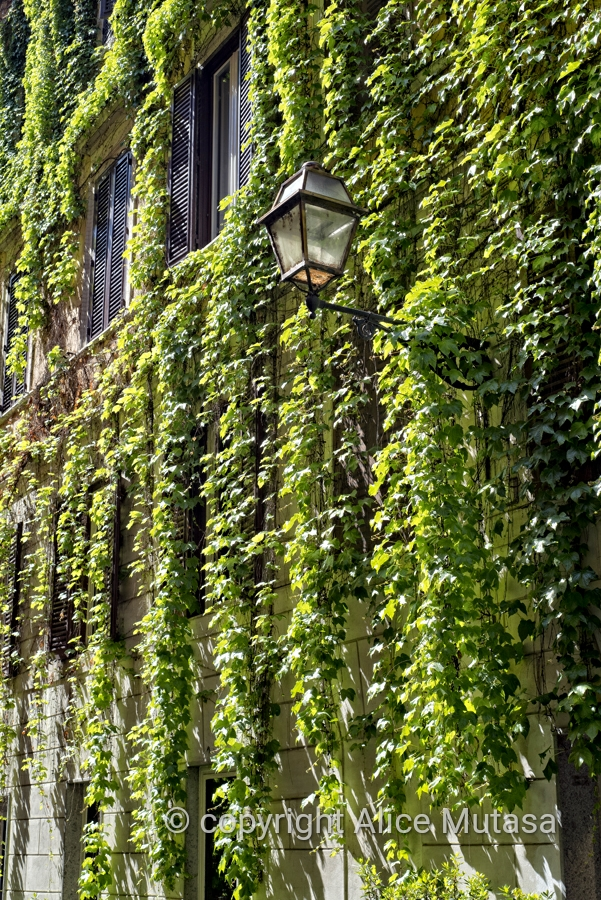Via Margutta with spectacular vines