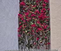 Bougainvillea outside Picasso Museum, Malaga