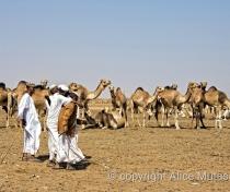 Omdurman camel market