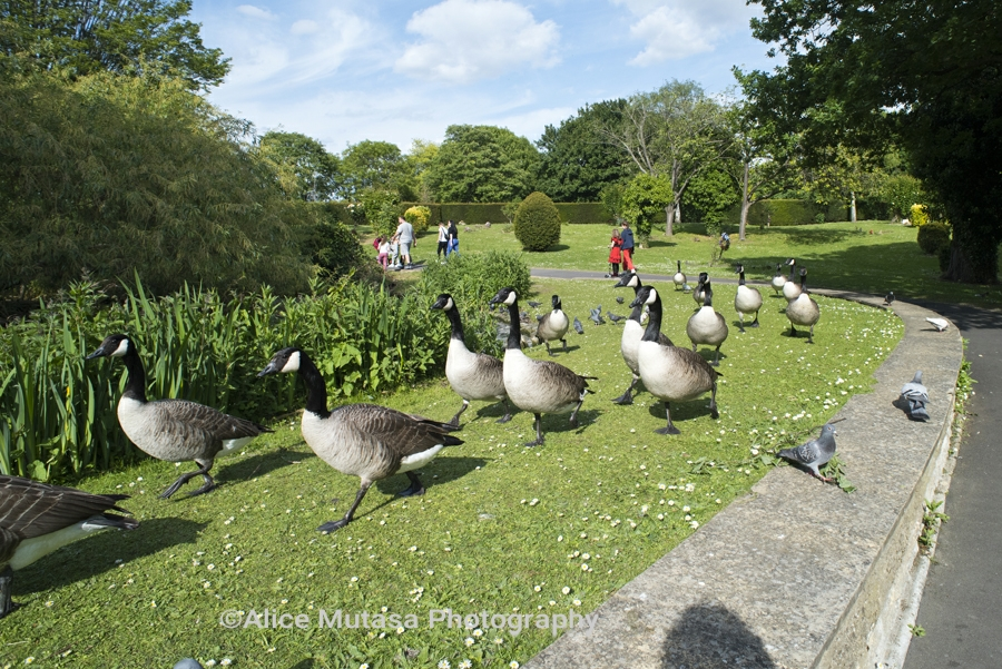 Canada Geese in Tottenham Cemetary - not social distancing