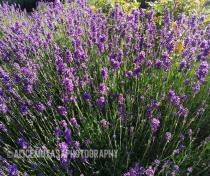 Lavender in Downhills Park