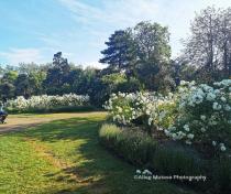 Downhills Park rose garden