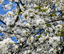 Blossom in Chestnuts Park - April