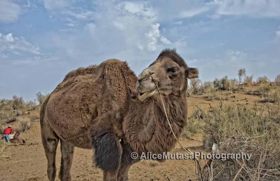 Uzbek camel, Kyzylkum desert